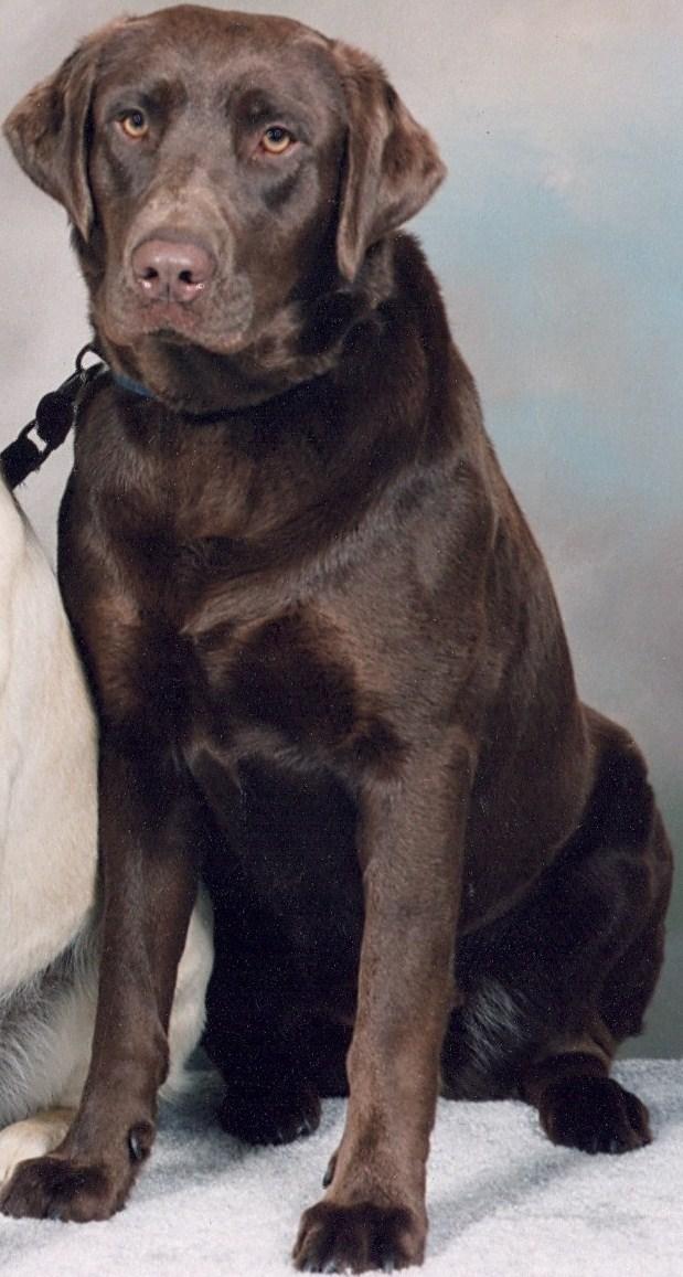 Best Chocolate Lab Chubby Adorable Dog - Kodi  Gallery_902624  .jpg