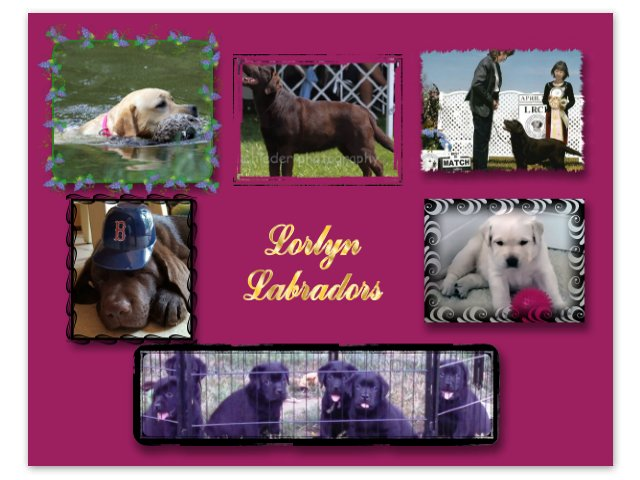 Lorlyn Labrador Retrievers - Lorlyn Labradors is registered with the